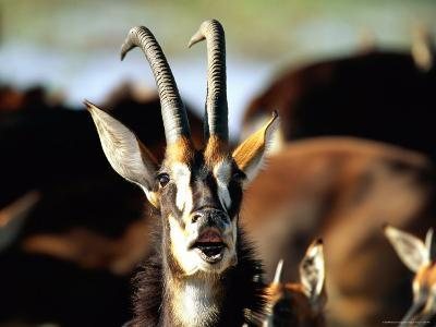 Sable Antelope Vocalizing-Beverly Joubert-Photographic Print