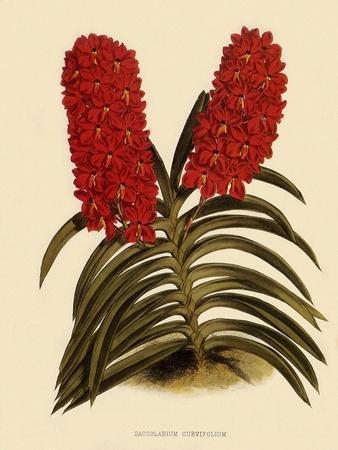 https://imgc.artprintimages.com/img/print/saccolabium-curvifolium_u-l-q1bvodo0.jpg?p=0