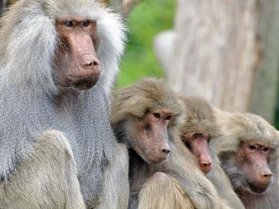 Sacred Baboon Male with His Harem--Photographic Print