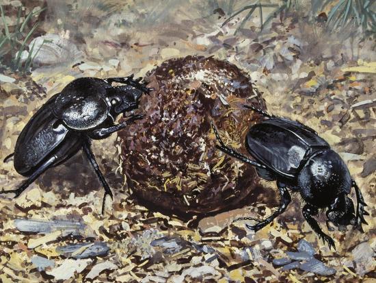 Sacred Beetle (Scarabaeus Sacer), Scarabaeidae--Giclee Print