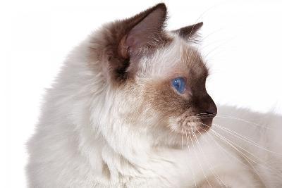 Sacred Cat of Burma-Fabio Petroni-Photographic Print