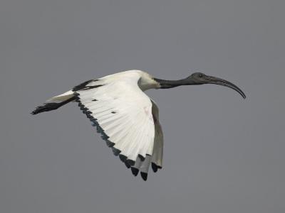 Sacred Ibis Flying, Threskiornis Aethiopicus, Lake Naivasha, Kenya, Africa-Arthur Morris-Photographic Print