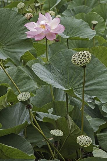 Sacred Lotus (Nelumbo Nucifera)-Dr. Nick Kurzenko-Photographic Print