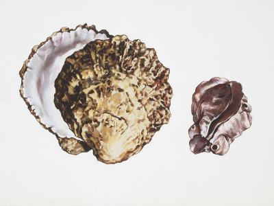 Saddle Oyster (Anomia Ephippium), Illustration--Photographic Print