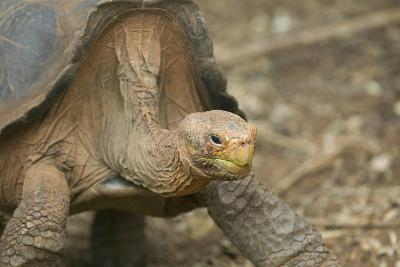 Saddleback Galapagos Tortoise-DLILLC-Photographic Print