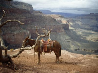 Saddled Mule and Scenic View of the Grand Canyon-David Edwards-Photographic Print