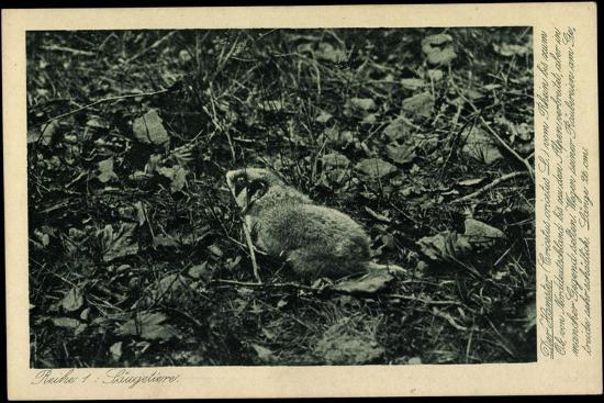 Säugetier, Hamster, Cricetus Cricetus L, Feldhamster, Schädling, Getreide--Giclee Print