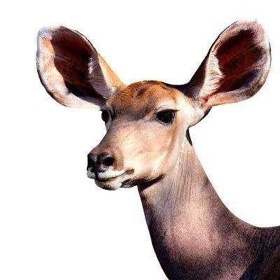 Safari Profile Collection - Antelope Impala Portrait White Edition V-Philippe Hugonnard-Photographic Print