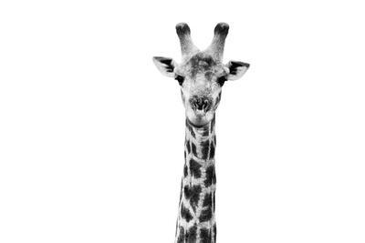 Safari Profile Collection - Giraffe Portrait White Edition II-Philippe Hugonnard-Photographic Print