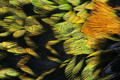 Saffron-Crested Tanager Breast Feathers-Darrell Gulin-Photographic Print