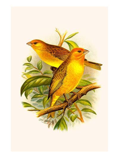 Safron Finch or Brazilian Bunting or Brazilian Canary-F^w^ Frohawk-Art Print