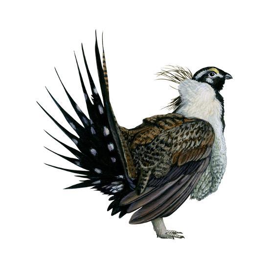Sage Grouse (Centrocercus Urophasianus), Birds-Encyclopaedia Britannica-Art Print