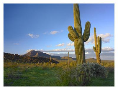 Saguaro and Teddybear Cholla, Picacho Peak State Park, Arizona-Tim Fitzharris-Art Print