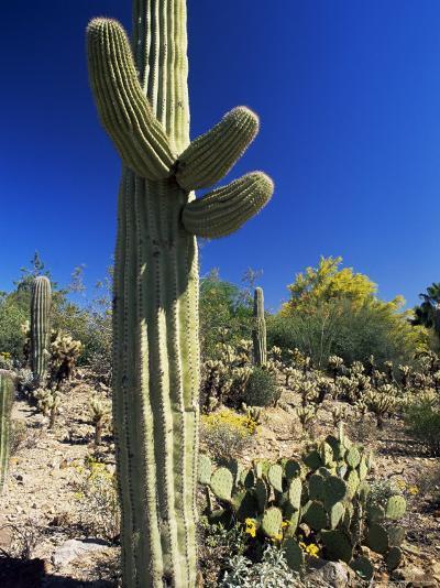 Saguaro Cacti, Arizona-Sonora Desert Museum, Tucson, Arizona, United States of America (U.S.A.)-Ruth Tomlinson-Photographic Print