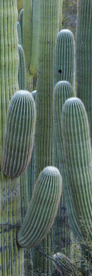 Saguaro Cacti, Oro Valley, Arizona, USA--Photographic Print