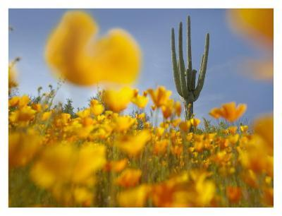 Saguaro cactus and California Poppy field at Gonzales Pass, Tonto National Forest, Arizona-Tim Fitzharris-Art Print