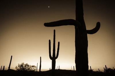 Saguaro Cactus at Sunset, Organ Pipe Cactus National Monument, Usa-Russ Bishop-Photographic Print