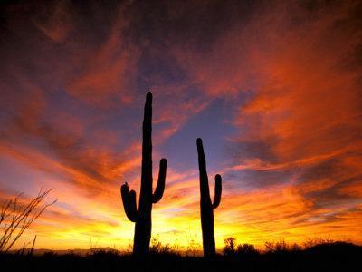 Saguaro Cactus at Sunset, Sonoran Desert, Arizona, USA-Marilyn Parver-Photographic Print