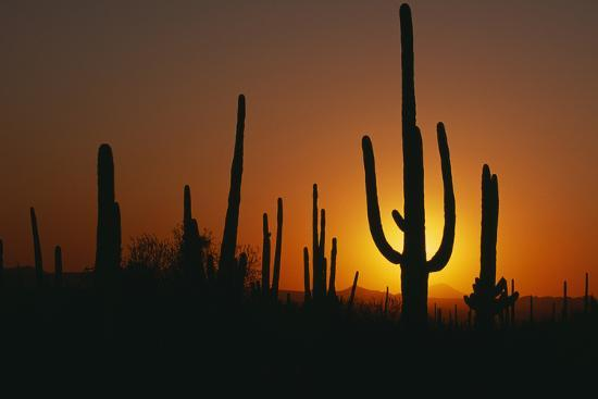 Saguaro Cactus at Sunset-DLILLC-Photographic Print