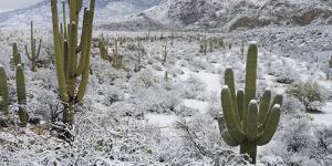 Saguaro Cactus in a Desert after Snowstorm, Tucson, Arizona, Usa