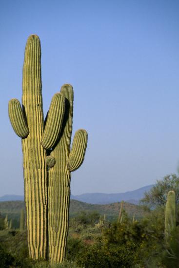 Saguaro Cactus in Desert-DLILLC-Photographic Print