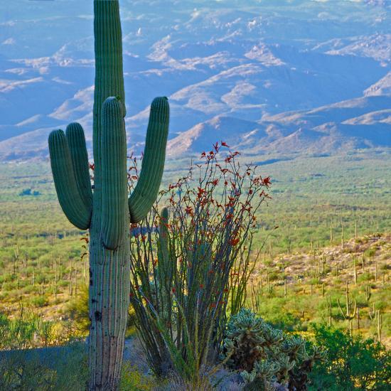 Saguaro Cactus in Saguaro National Park, Arizona,USA-Anna Miller-Photographic Print