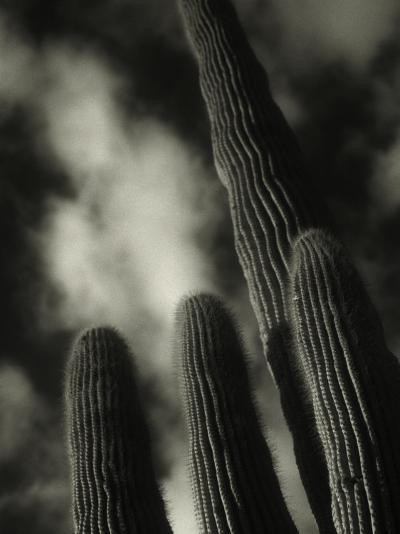 Saguaro Cactus, Kofa Nwa, AZ-David Wasserman-Photographic Print