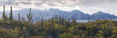 Saguaro Cactus with Mountain Range in the Background, Santa Catalina Mountains