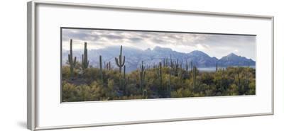 Saguaro Cactus with Mountain Range in the Background, Santa Catalina Mountains