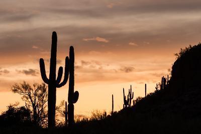 Saguaro Cactus-wollertz-Photographic Print
