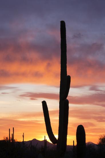 Saguaro Forest at Sunset, Saguaro National Park, Arizona, USA-Jamie & Judy Wild-Photographic Print