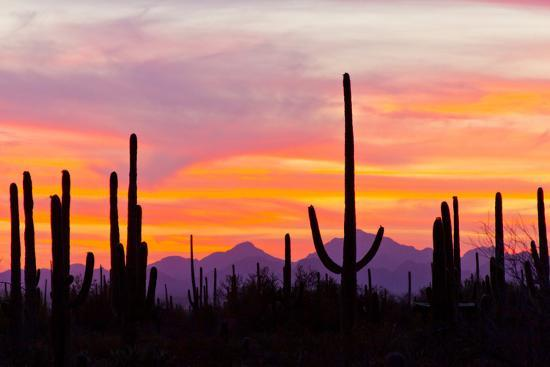 Saguaro Forest, Sonoran Desert, Saguaro National Park, Arizona, USA--Photographic Print