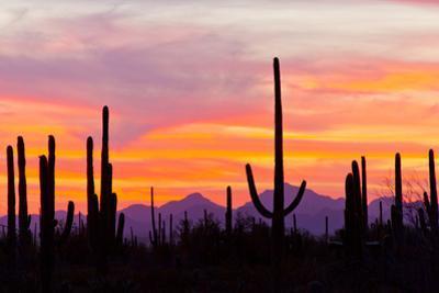 Saguaro Forest, Sonoran Desert, Saguaro National Park, Arizona, USA