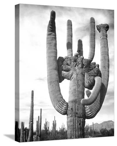 Saguaro National Monument, Arizona, ca. 1941-1942-Ansel Adams-Stretched Canvas Print