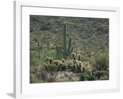 Saguaro National Park, Arizona, with Saguaro Cactus and Silver Cholla-Rolf Nussbaumer-Framed Photographic Print