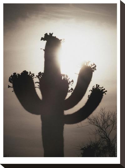 Saguaro Sunrise #10-Murray Bolesta-Stretched Canvas Print