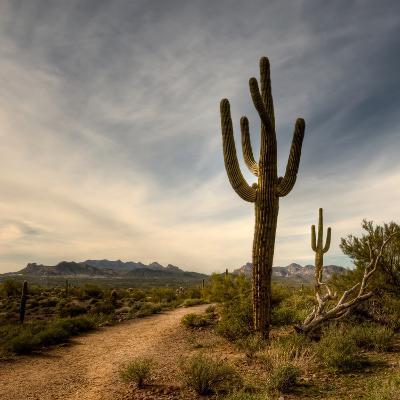 Saguaro-Merilee Phillips-Photographic Print