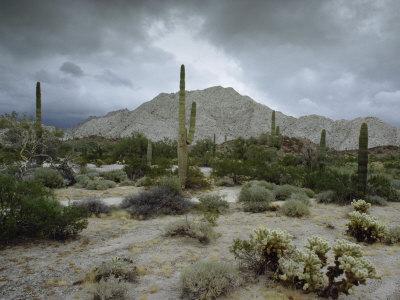 https://imgc.artprintimages.com/img/print/saguaros-cacti-rise-from-the-sonoran-desert-arizona-mexico-border_u-l-p4pe8w0.jpg?p=0