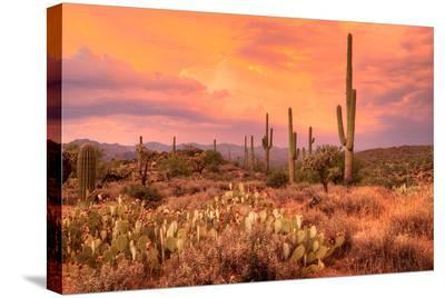 Saguaros in Sonoran Desert--Stretched Canvas Print