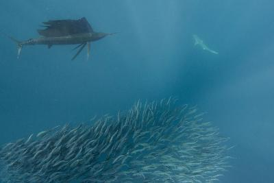 Sailfish and Bronze Whaler Shark Feeding, Eastern Cape, South Africa-Pete Oxford-Photographic Print