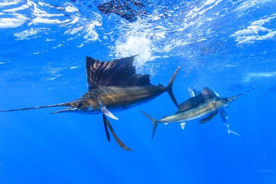 Sailfish feeding on Brazilian Sardines about 10 miles offshore from Isla Mujeres, Yucatan Peninsula-Stuart Westmorland-Photographic Print