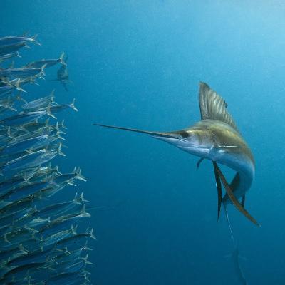 Sailfish feeding on Brazilian sardines-Stuart Westmorland-Photographic Print
