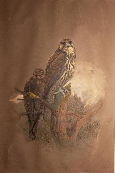 Saker Falcon (Falco Sacer), 1856-67-Joseph Wolf-Giclee Print