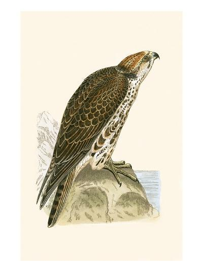 Saker Falcon,  from 'A History of the Birds of Europe Not Observed in the British Isles'-English-Giclee Print