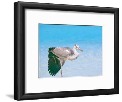 Blue Heron, Maldives, Indian Ocean, Asia