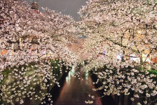Sakura at Nakameguro-By CaDs-Photographic Print