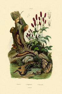 Salamander, 1833-39