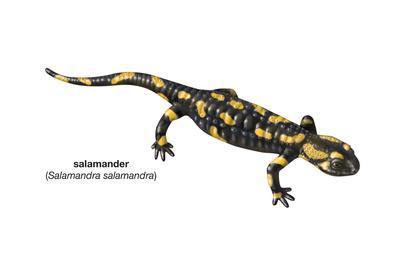 https://imgc.artprintimages.com/img/print/salamander-salamandra-salamandra-amphibians_u-l-q135kk50.jpg?p=0