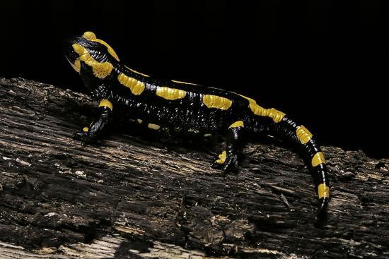 Salamandra Salamandra Terrestris (Fire Salamander)-Paul Starosta-Photographic Print