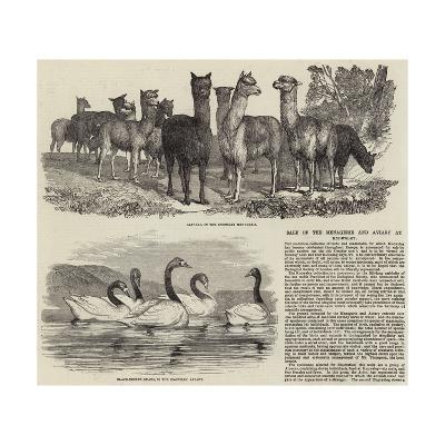 Sale of the Menagerie and Aviary at Knowsley--Giclee Print